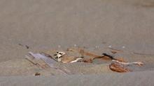 Snowy Plover Leaving Nest