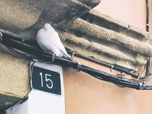Close-up Of Pigeon At Pipeline Of Building