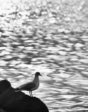 Seagull On Cliff Against Sea