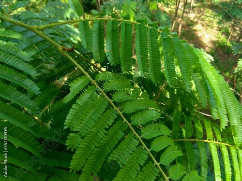 Fototapeta Sato leaves (Parkia speciosa, Parkia speciosa, petai, pete, twisted cluster bean, stinky bean) with natural background