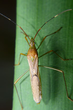 Rice Ear Bug. Pests That Survive By Giving Off A Pungent Odor