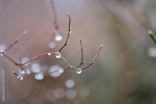 Fototapety, obrazy: Close-up Of Water Drops On Twig