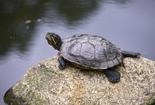 Red Eared Slider Turtle. A Red...