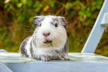 Portrait Of Guinea Pig Eating ...