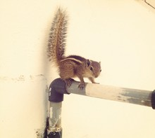 Squirrel On A Pipe