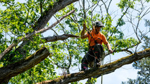 Worker In Orange Shirt In Tree Cutting Off Dead Branches