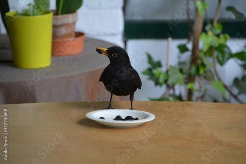 Blackbird Feeding On Retaining Wall Wallpaper Mural