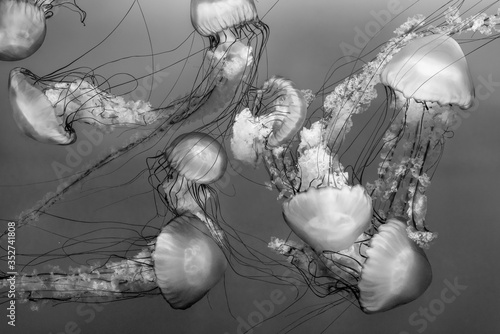 Valokuvatapetti jellyfish (Chrysaora fuscescens or Pacific sea nettle) in black and white