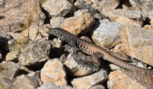 A Western Whiptail Lizard In T...