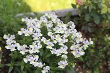 ネメシアの薄紫の花