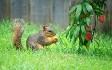 Hungry Squirrel (Sciurus Niger) Eating Peach Fruit Under The Tree In The Garden