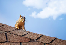 Squirrel On The Roof Top. Blue...