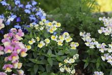 ネメシアの花