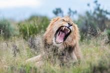 Yawning Male Lion