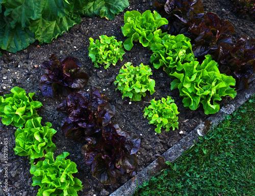 Salatbeet mit verschiedenen Blattsalaten Fototapete