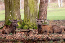 Two Spiked Deer Resing On The Forest Edge