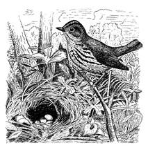 Ovenbird, Vintage Illustration.