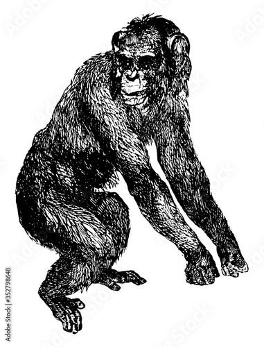 Foto Chimpanzee or Pan troglodytes, vintage illustration.