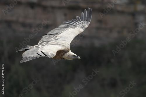 Gips fulvus, Griffon vulture, Buitre leonado Canvas Print