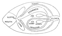 Internal Structure Of Frog, Vi...