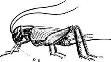 Crickets, Vintage Illustration.
