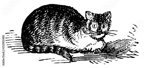 Domestic Cat, vintage illustration. Wallpaper Mural
