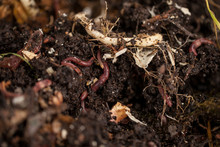 Earthworms And Compost Bin. Wo...