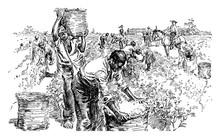 Cotton Plantation, Vintage Ill...