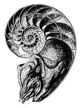 Chambered Nautilus, Vintage Illustration.