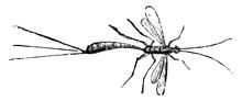 Ichneumon Fly, Vintage Illustration.