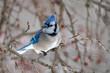 A beautiful Blue jay (Cyanocitta cristata) perches on a tree branch.