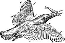 Kingfisher, Vintage Illustrati...