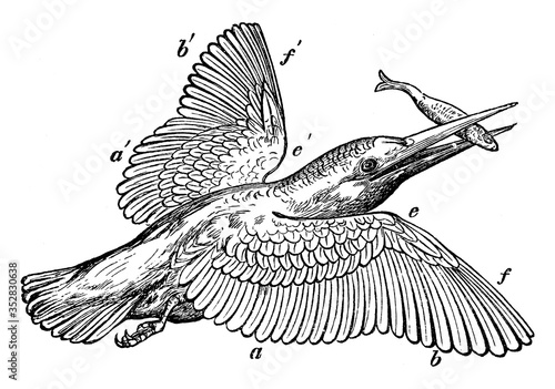 Kingfisher, vintage illustration. Fototapete