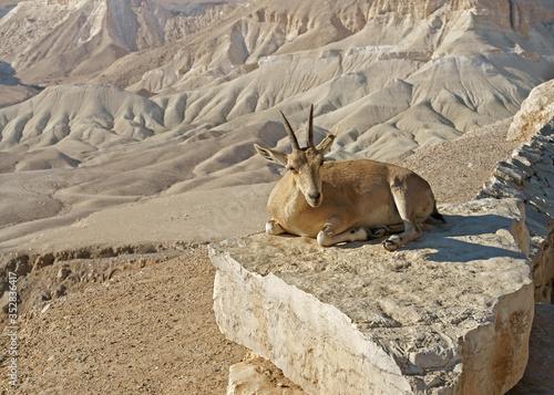 Young Nubian ibex (Capra nubiana sinaitica) on rock on Negev desert background i Canvas Print