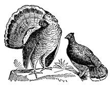 Ruffed Grouse Or Game-birds, V...