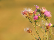 Spiny Plumeless Thistle With Pink Flowers And Fluffy Seeds, Carduus Acanthoides