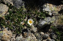 White Flower With A Yellow Center Near Green Leaves And Stones With Lichen