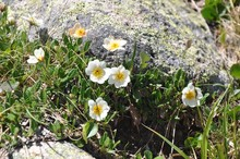 Several White Flowers With A Yellow Center And Grass Near A Stone With Lichen