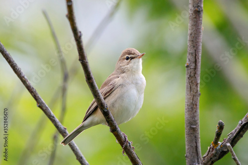 Fotografia Booted warbler iduna caligata sitting on branch of tree
