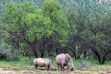 Dehorned White Rhino Mother And Calf Amongst Open Acacia Veld In The Karoo