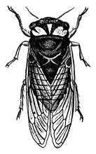 Cicada, Vintage Illustration.