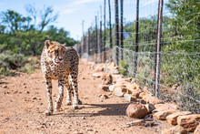 Female Cheetah Walking Alongside An Electrified Fence