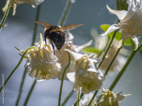 Bees near White Aquilegia Canvas Print