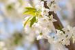 Beautiful white cherry or cherry blossom