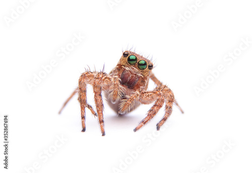 jumping spider isolated on white background. Fototapeta