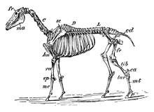 Horse Skeleton, Vintage Illust...