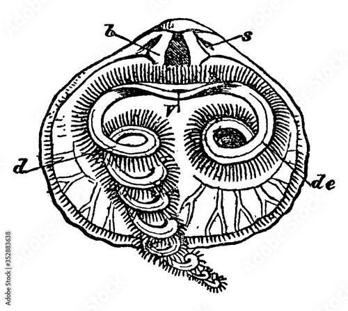 Dorsal Valve or Rhynchonella psittacea, vintage illustration. Fototapete