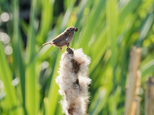 A Wren (Troglodytes Troglodytes) Perched On A Bulrush On The Bank Of The River Calder Near To Chantry Chapel In Wakefield, West Yorkshire.