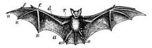 Bat, Vintage Illustration.