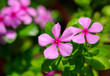 canvas print picture Beautiful pink flowers on the nature